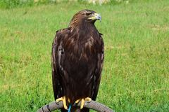 Handsome eagle sitting on a background of green grass stock photography