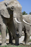 Handsome elephant Royalty Free Stock Photography