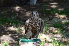 Handsome Falcon resting in the shade of trees royalty free stock image