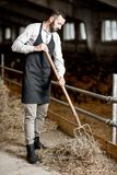 Farmer with hay in the stable. Handsome farmer in apron working with hay in the stable at the goat farm stock photography