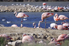 Handsome flamingo Stock Image