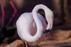 Handsome flamingo Stock Image