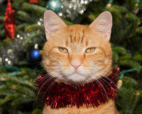 Handsome ginger tabby cat with a strand of red tinsel Stock Photo