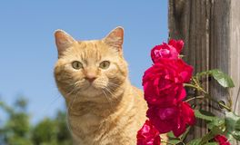 Handsome ginger tabby looking at the viewer next to bright red roses Royalty Free Stock Photo