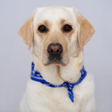 Handsome golden labrador Royalty Free Stock Image