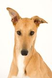 Handsome Greyhound. A tan greyhound portrait looking at camera against a white background stock image