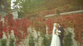 Handsome groom is gently kissing his perfect blond bride near the wall covered with red ivy during the sunset. stock video