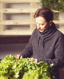 Handsome grower is checking and taking care of plants indoor. Royalty Free Stock Image