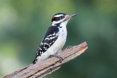 Handsome Hairy Woodpecker Royalty Free Stock Images