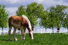Handsome Horse Feeding On Green Grass Stock Photos