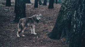 Handsome hungry wolf in the forest stock image