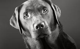 Handsome Labrador Stock Photos