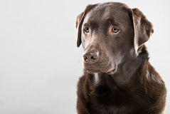 Handsome Labrador Royalty Free Stock Photo