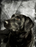 Handsome Labrador Stock Image