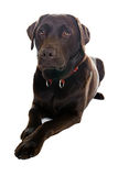 Handsome Labrador Dog Lying Down Royalty Free Stock Images