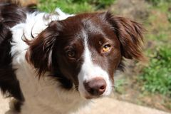 A handsome liver and white collie cross springer spaniel pet dog Stock Photo