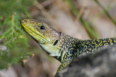 Handsome lizzard Stock Image