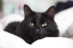 A handsome long haired black pussy cat Stock Photo