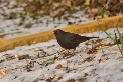Male blackbird turdus merula looking for food in the snow. Royalty Free Stock Photo