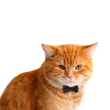 Handsome Male Cat with Black Bow Tie on White Stock Photo
