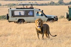 A male lion roaring. A handsome male lion with beautiful horsehair is roaring. Its fur is bright brown in the morning sunshine. There is a white jeep which is in royalty free stock images
