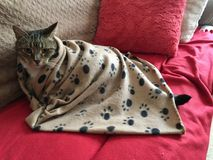 Handsome male Tabby Cat with green eyes. Male Tabby cat snuggling in his blanket and relaxing Stock Photos
