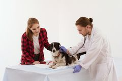 Dog getting checked at vet clinic with thir owner. Handsome male veterinarian examining dog. Beautiful women brought in her dog with white and black fur to vet Stock Image