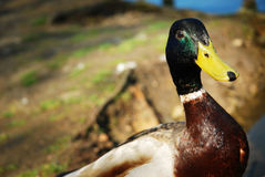 Handsome Mallard Drake. A handsome Mallard Drake on a river bank Stock Images