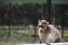 Handsome monkey. Looking for his mate Royalty Free Stock Image
