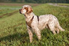 Handsome Orange Belton English Setter on the lookout royalty free stock images