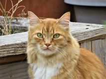 A handsome orange tabby cat Stock Images