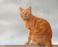 Handsome orange tabby cat sitting on a wooden rail Royalty Free Stock Image