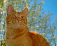 Handsome Orange Tabby Cat in a sunny day Stock Image