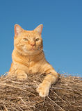 Handsome orange tabby cat on the top of a hay bale royalty free stock image