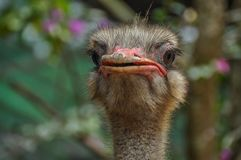 A handsome ostrich is ready to ride anyone stock images