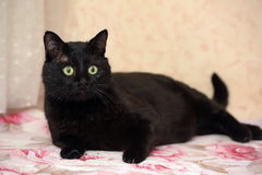 Handsome plump black cat Stock Image