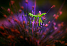 Handsome praying mantis. A prayingh mantis on a plant Stock Photography