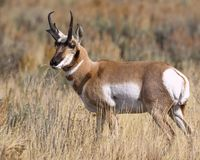 Pronghorn buck looking over his domain. Handsome Pronghorn buck gazing out over his domain Grand Teton National Park, Wyoming, USA royalty free stock image