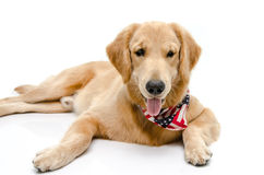 Handsome pure breed golden retriever Royalty Free Stock Image