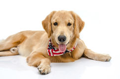 Handsome pure breed golden retriever Stock Photo