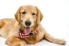 Handsome pure breed golden retriever Stock Images