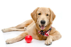 Handsome pure breed golden retriever Royalty Free Stock Images