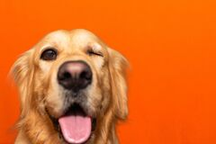 Free Handsome Pure Breed Golden Retriever Is One Eye Closed Dog On A Orange Studio Background.Closeup.Copy Space Stock Image - 219822991