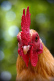 Handsome Rooster Royalty Free Stock Images