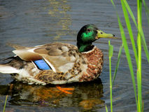 Handsome Saimaa Lake Dandy. Mallard is the largest of the wild ducks in Finland. Male, called a drake, has green shimmering black head, dark reddish brown chest Stock Photos