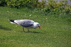 Handsome seagull Royalty Free Stock Photo