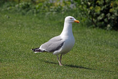 Handsome seagull Stock Image