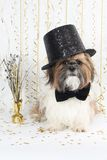A Handsome Shih Tzu Celebrates New Year's Stock Image