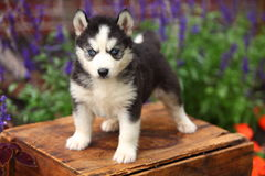 Siberian Husky Puppy Standing on Wooden Crate Stock Photography