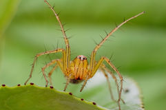 Small spider. The handsome spiders make threatening gestures Royalty Free Stock Photography